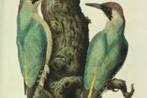 65/3185   [Ornithology]. Nozeman, C. and Houttuyn, M.